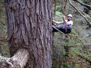 Will Blozan, subject of the documentary, hangs alongside the hemlock.  This tree, the champion hemlock to date at 172 feet and estimated at 400 years old, was killed by HWA. Show your support today. Be part of the 'Vanshing Hemlock' documentary and help to save what remains of our ancient hemlock forests.