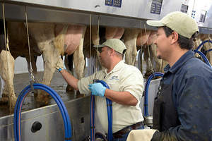 yeast culture, dairy feed, Vi-COR, milking cows, somatic cell count