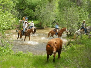 Horseback riders participate in a cattle drive, one of the many outdoor activities available to guests at Spring Creek Ranch in Colorado.