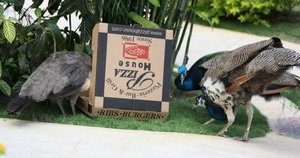 'Where's Boxy?' photo entry of peacocks inspecting Pizza House box in Jamaica