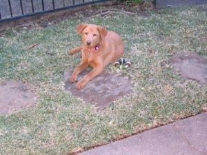 Poppy at the Highland Village Pet Adoption Center in Houston TX