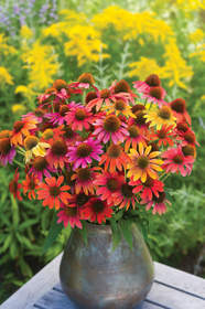 Warm Summer Echinacea, perennial seeds, burpee perennials, burpee.com, burpee