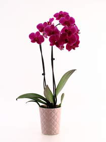 Orchid Care - Just Add Ice Orchids
