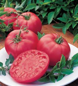barndy boy tomao, burpee, burpee tomato
