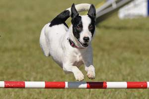 canine athlete: agility dog