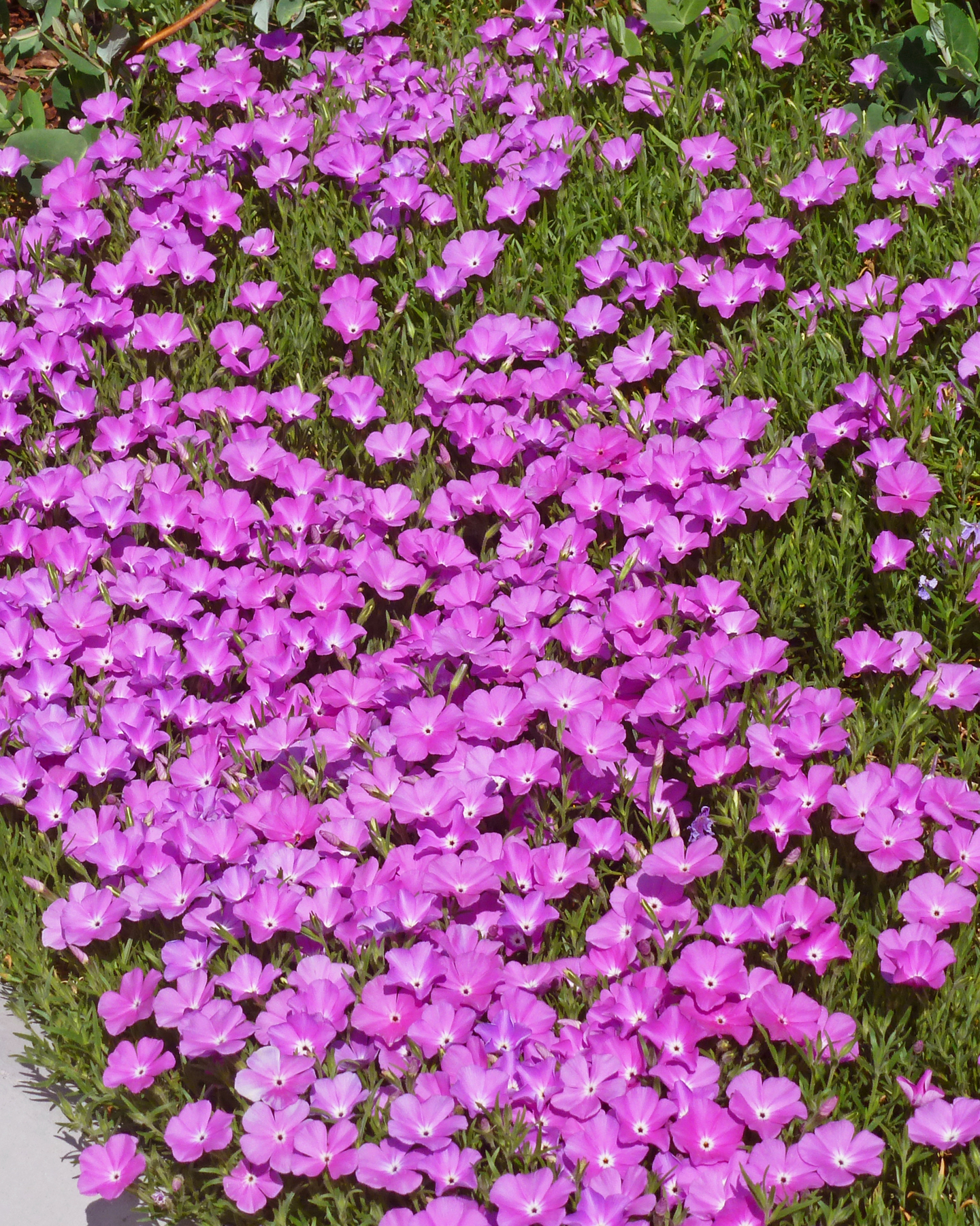 new plants for 2013, phlox, pink phlox, high country gardens, american meadow