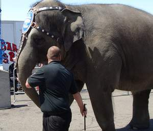 Ringling Bros. employee with bull hook