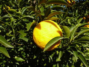 Exotic and precious: A yuzu fruit