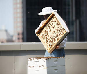 Hotel beekeepers conduct annual honey harvests on the hotel rooftop.