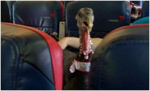 Turkey Flying on Plane