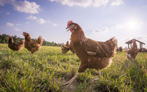 All hen photography from a true free-range happy egg co. farm.