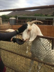 livestock animals, pets, grooming, bathing, pet care, animal care, livestock care, goats, goat care