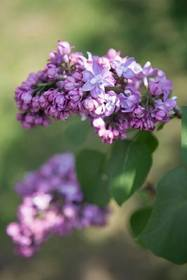 Lilacs in Highland Park, Rochester NY